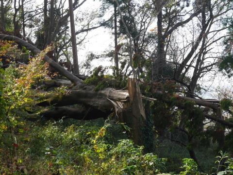 ③山桜植樹で累計475本、500本目前:12・21六国見山手入れ_c0014967_10362632.jpg