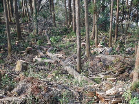 ③山桜植樹で累計475本、500本目前:12・21六国見山手入れ_c0014967_10393417.jpg