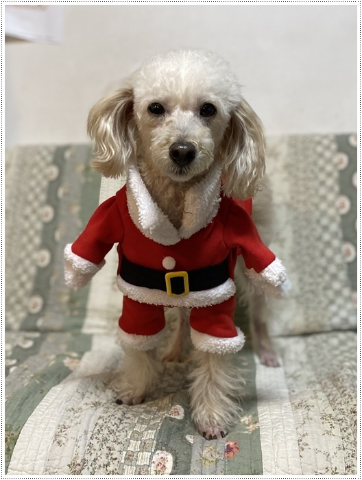 今夜はクリスマスイブ、我が家はクリスチャンではないけど、さくらも大も、色々食べられて、それだけで大満足だね~_b0175688_20433152.jpg