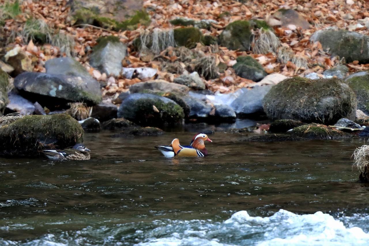 渓流のオシドリ_f0296999_18575717.jpg