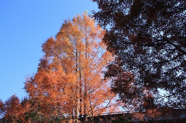 紅葉の大曾根公園散策(撮影:12月8日)_e0321325_13560401.jpg
