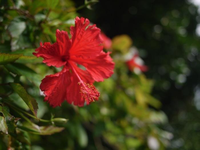 沖縄冬至越えの旅3 備瀬のフクギ並木_e0359436_15451665.jpeg