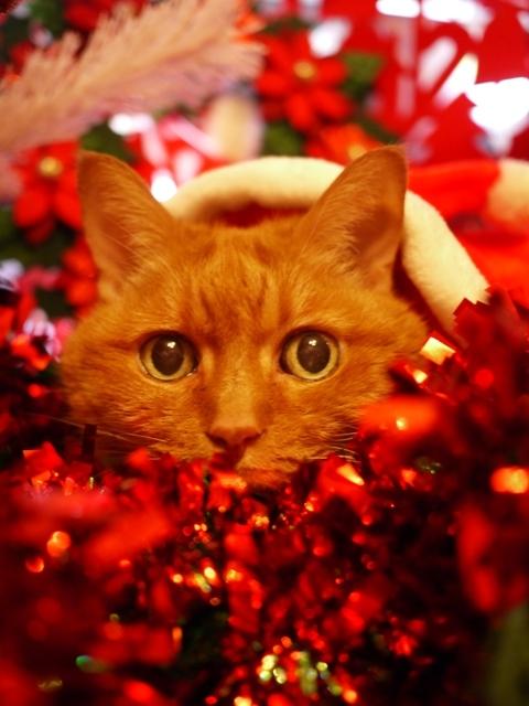 クリスマス猫 しぇる編。_a0143140_23043610.jpg