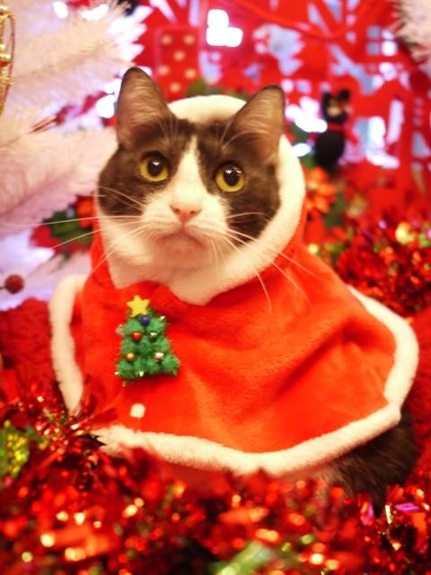 クリスマス猫 みるきぃ編。_a0143140_23135756.jpg