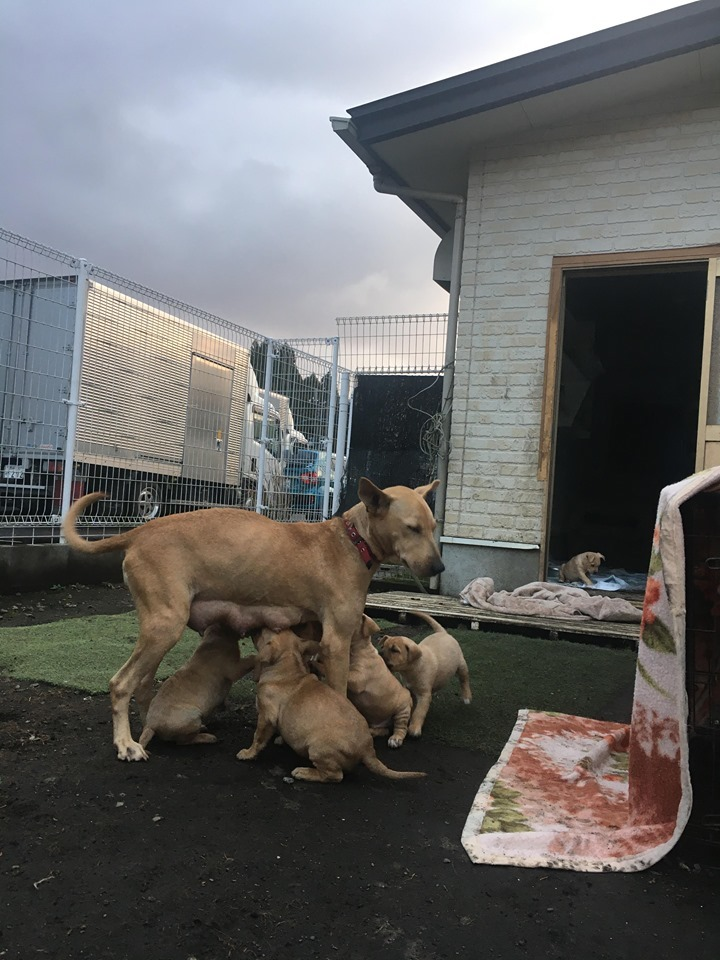 新規・母犬&仔犬のお預かりさん、里親さん、移送ボランティアさん緊急募集!!_c0372561_22202381.jpg