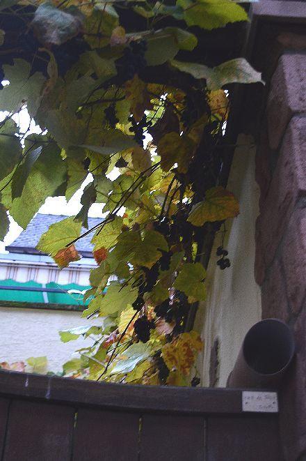 葡萄の葉をレースに変える_b0346275_10002177.jpg
