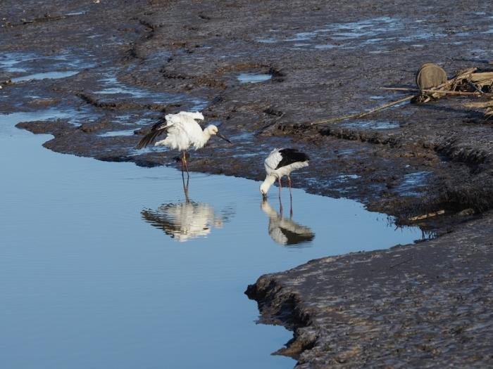 渡良瀬遊水地でコウノトリ_f0224100_08375255.jpg