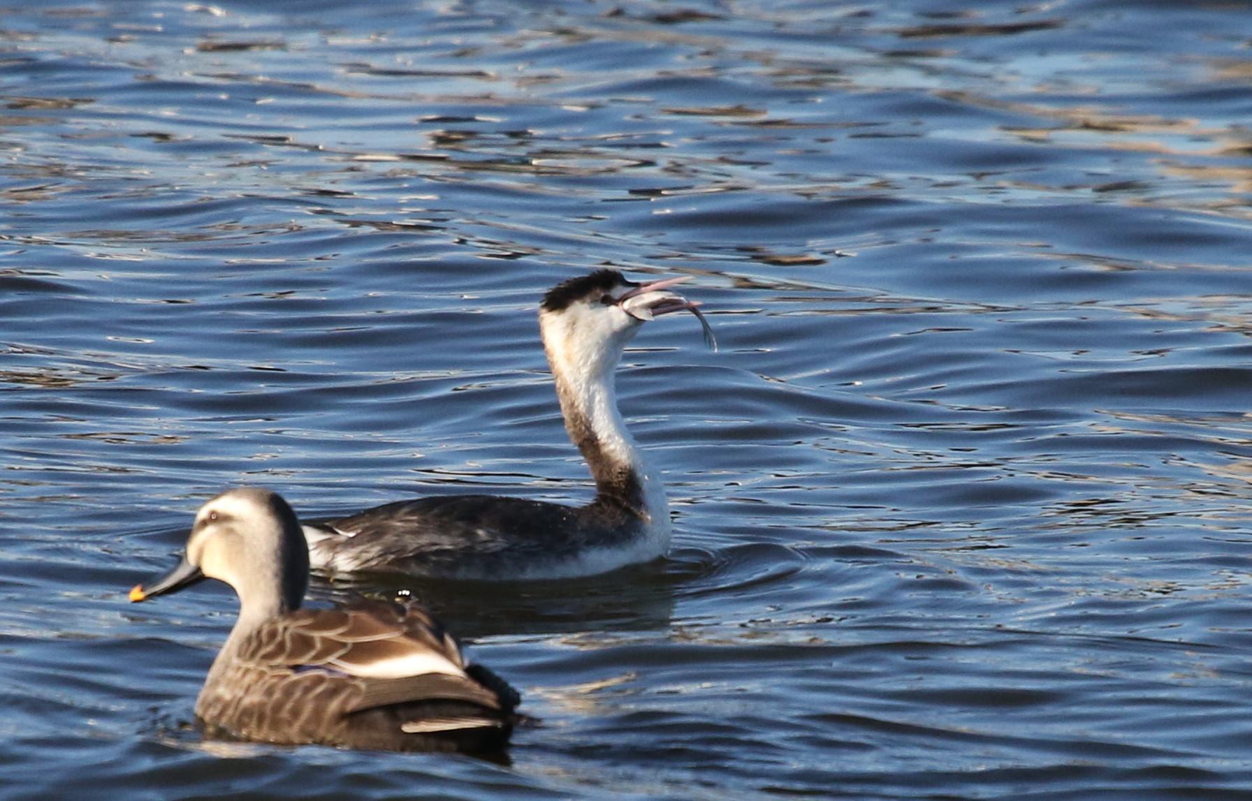 MFの沼で鳥たちの食事場面を見る事ができました_f0239515_17281319.jpg