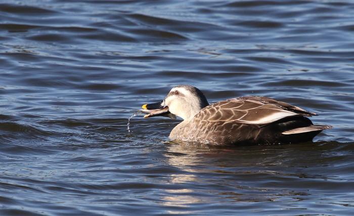 MFの沼で鳥たちの食事場面を見る事ができました_f0239515_17293035.jpg