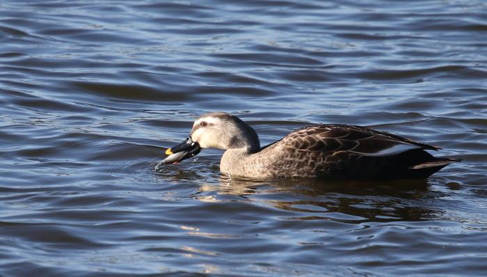 MFの沼で鳥たちの食事場面を見る事ができました_f0239515_1729626.jpg