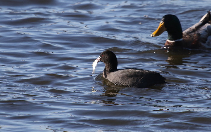 MFの沼で鳥たちの食事場面を見る事ができました_f0239515_1730641.jpg