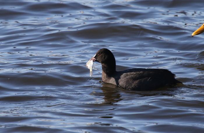 MFの沼で鳥たちの食事場面を見る事ができました_f0239515_1731732.jpg
