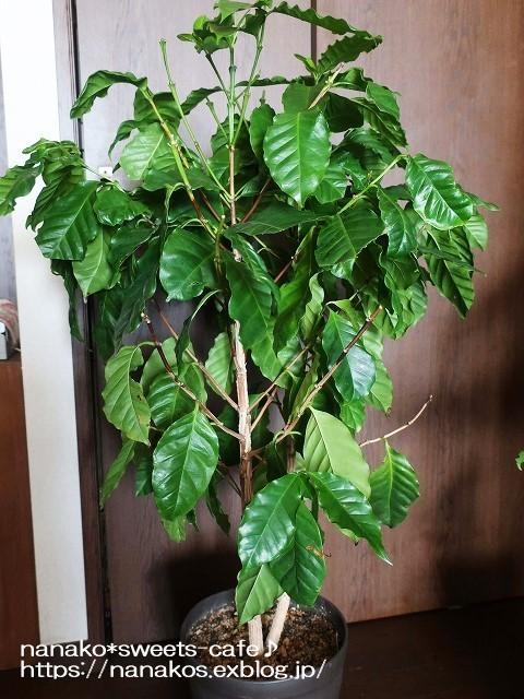 コーヒーの木の今・・・_d0147030_17083008.jpg