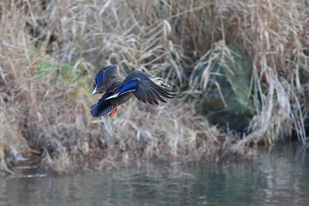 水辺の野鳥_e0403850_21054729.jpg