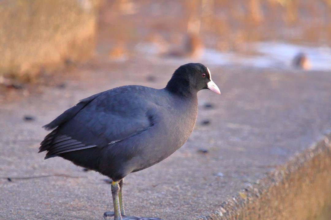 水辺の野鳥_e0403850_21080697.jpg