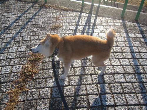 記憶力いいタイプな柴犬_f0245650_06481211.jpg