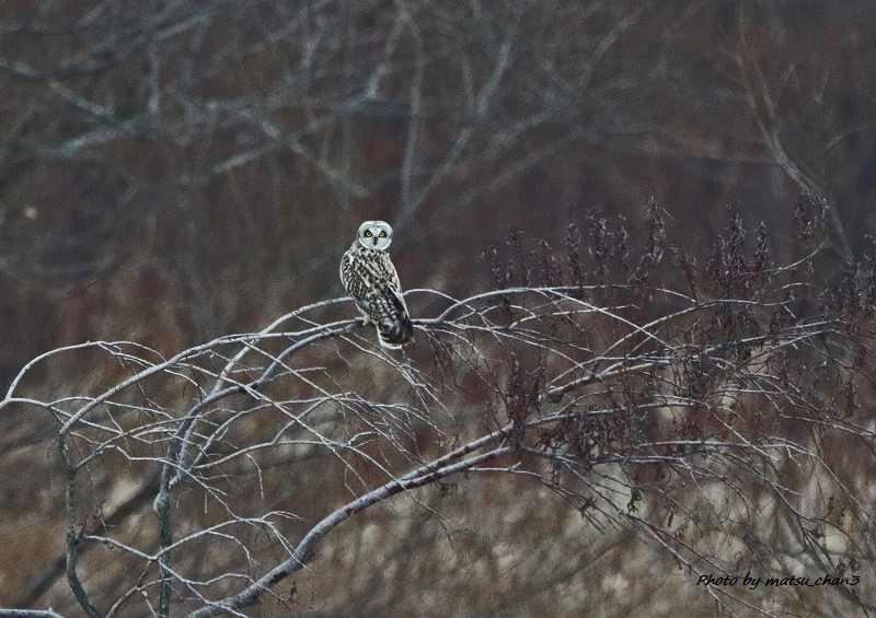 コミミズク  Short-eared Owl_c0070654_16171512.jpg