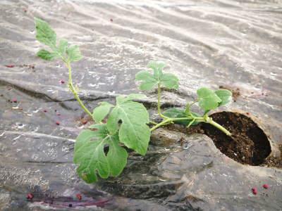 夢スイカ 平成31年3月下旬の収穫へ向け小玉スイカ『ひとりじめHM』の定植後の様子を現地取材_a0254656_14582175.jpg