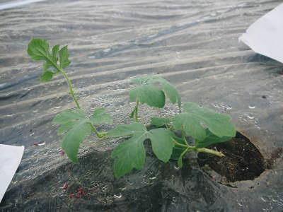 夢スイカ 平成31年3月下旬の収穫へ向け小玉スイカ『ひとりじめHM』の定植後の様子を現地取材_a0254656_15201865.jpg
