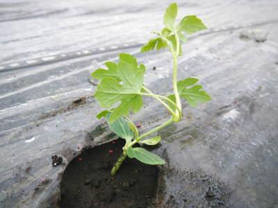 夢スイカ 平成31年3月下旬の収穫へ向け小玉スイカ『ひとりじめHM』の定植後の様子を現地取材_a0254656_15294858.jpg