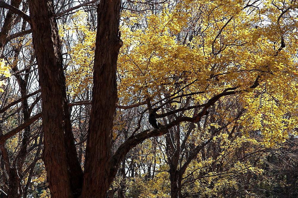 調布市 野川公園・トウカエデの紅葉 その8_e0165983_11093640.jpg