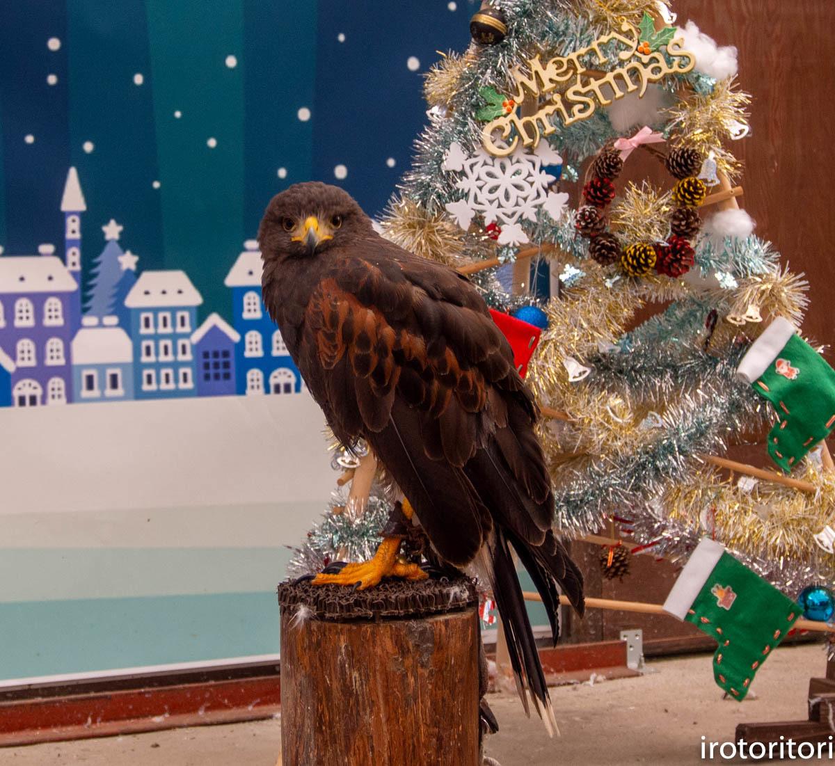 クリスマス!!  (ハリスホーク)  2019/12/25_d0146592_23143505.jpg