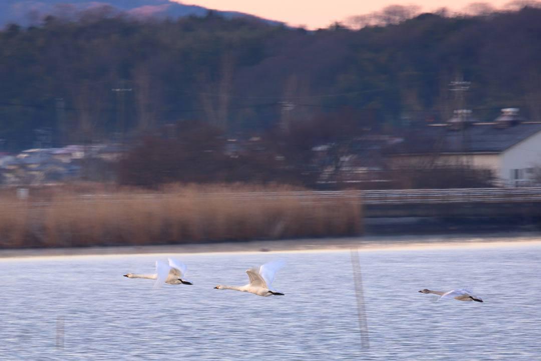 白鳥12/25その2_e0403850_11352375.jpg