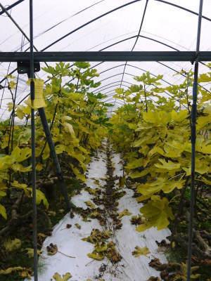 甘熟いちじく 本格的な寒さと共に落葉しました!今年は例年より少し遅めのいちじくの落葉2019_a0254656_17332962.jpg
