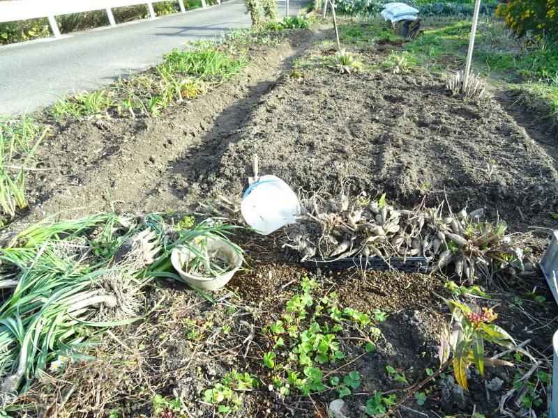 ダリヤ畑の掘り起し・・・我が家の花壇_c0108460_17300622.jpg