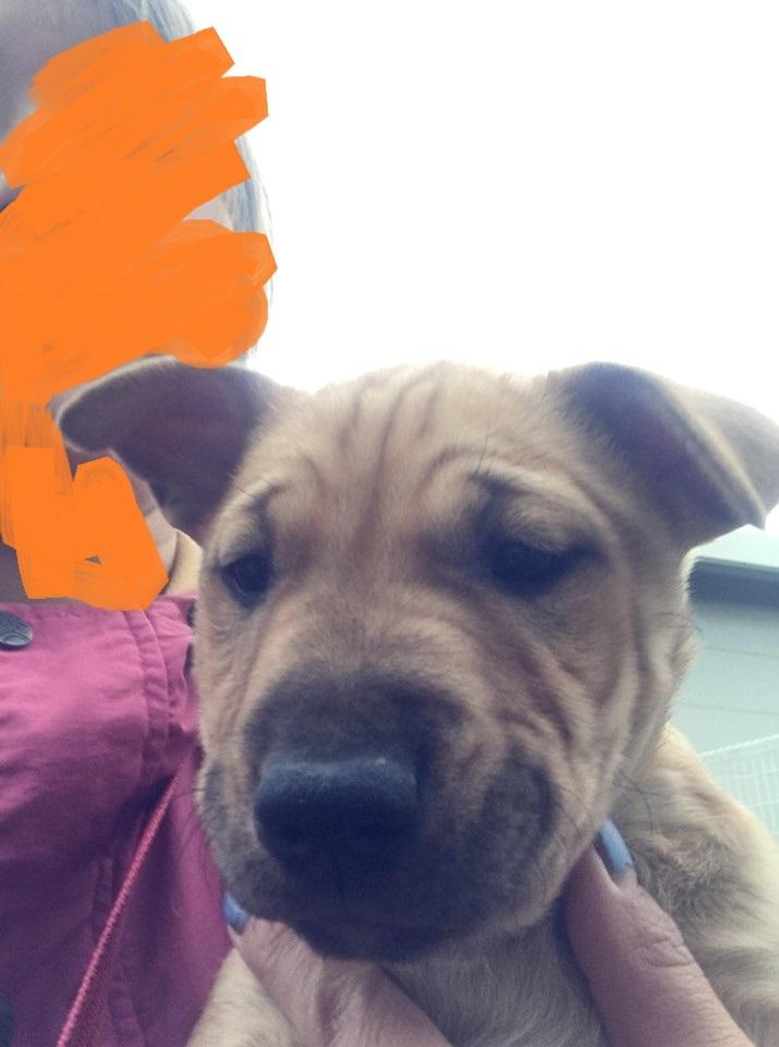 新規・母犬&仔犬のお預かりさん、里親さん、移送ボランティアさん緊急募集!!_c0372561_18325912.jpg