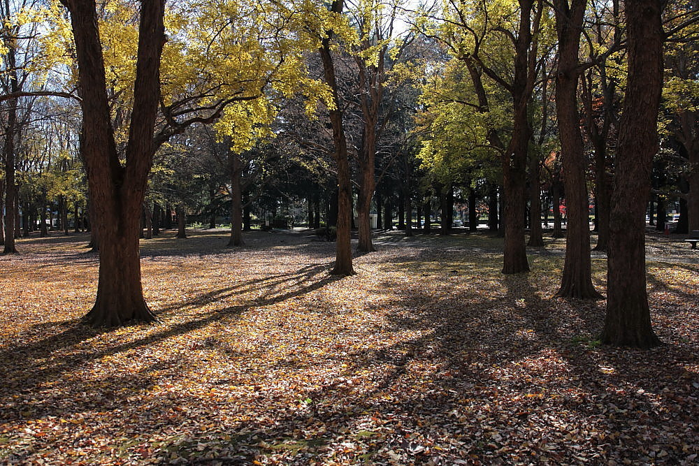 調布市 野川公園・トウカエデの紅葉 ラスト_e0165983_10472323.jpg