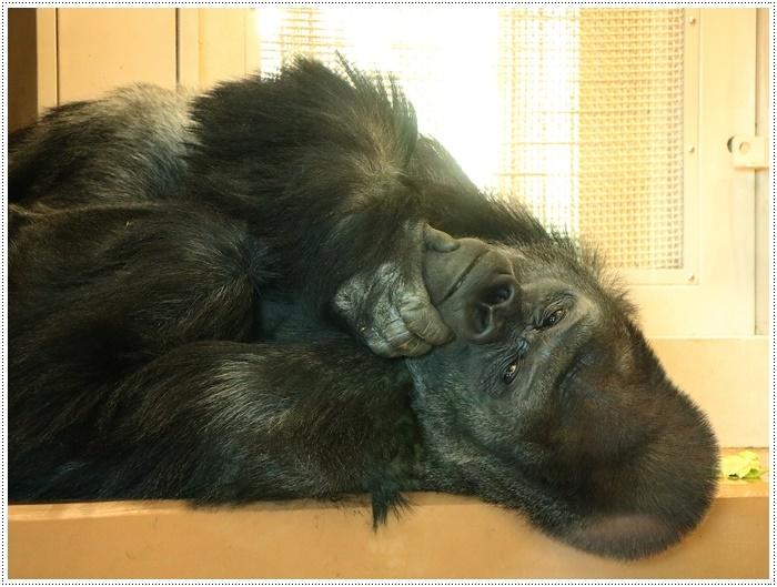 愛知県(名古屋周辺)でのお出かけ その5  東山動物園 (11月29日)やっぱりシャバーニに会わなくっちゃね_b0175688_00160983.jpg