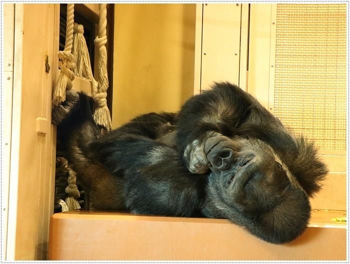 愛知県(名古屋周辺)でのお出かけ その5  東山動物園 (11月29日)やっぱりシャバーニに会わなくっちゃね_b0175688_00161999.jpg