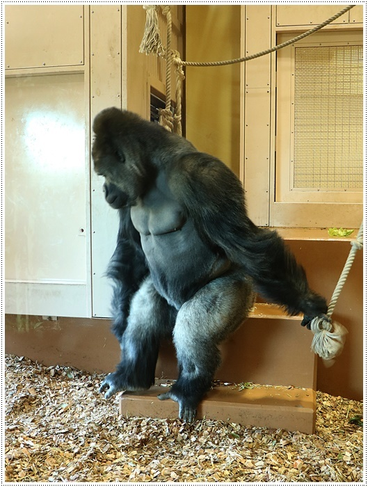 愛知県(名古屋周辺)でのお出かけ その5  東山動物園 (11月29日)やっぱりシャバーニに会わなくっちゃね_b0175688_00162868.jpg