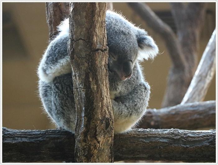 愛知県(名古屋周辺)でのお出かけ その5  東山動物園 (11月29日)やっぱりシャバーニに会わなくっちゃね_b0175688_00312647.jpg