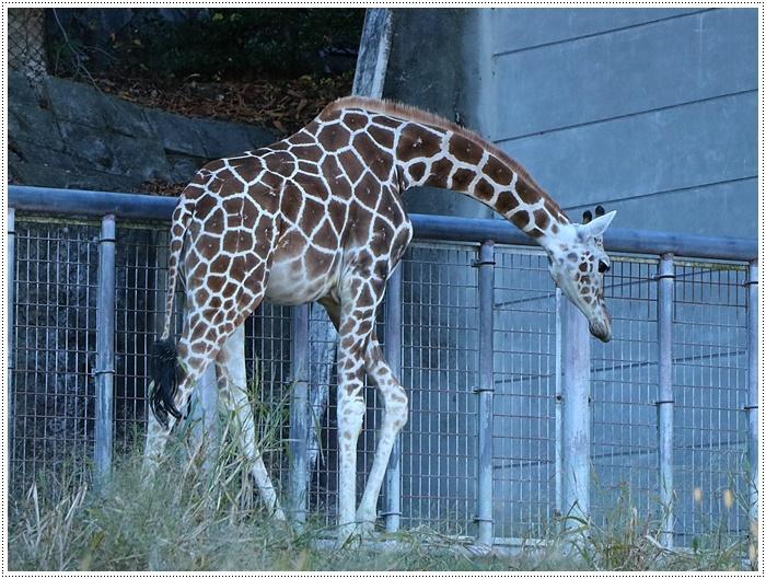 愛知県(名古屋周辺)でのお出かけ その5  東山動物園 (11月29日)やっぱりシャバーニに会わなくっちゃね_b0175688_00352031.jpg