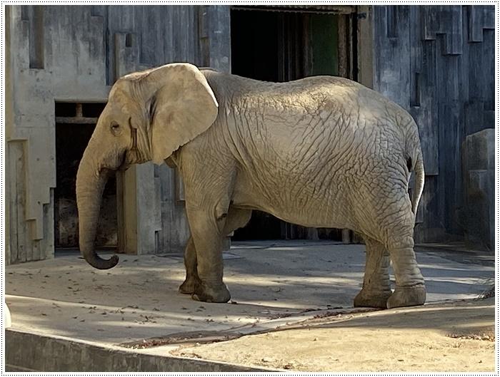 愛知県(名古屋周辺)でのお出かけ その5  東山動物園 (11月29日)やっぱりシャバーニに会わなくっちゃね_b0175688_00352885.jpg