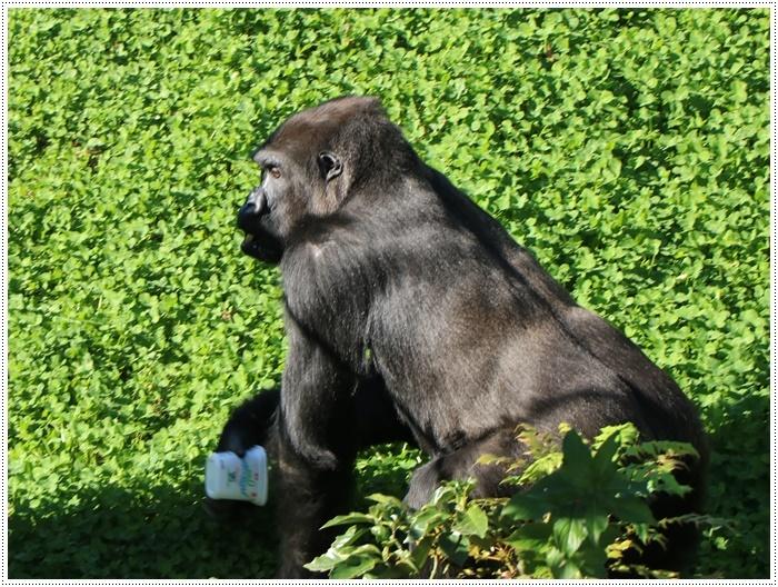 愛知県(名古屋周辺)でのお出かけ その5  東山動物園 (11月29日)やっぱりシャバーニに会わなくっちゃね_b0175688_00384431.jpg