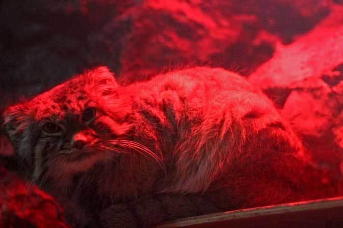 マヌルネコ「ナイマ」と小獣館の個性派たち(上野動物園)_b0355317_10480974.jpg