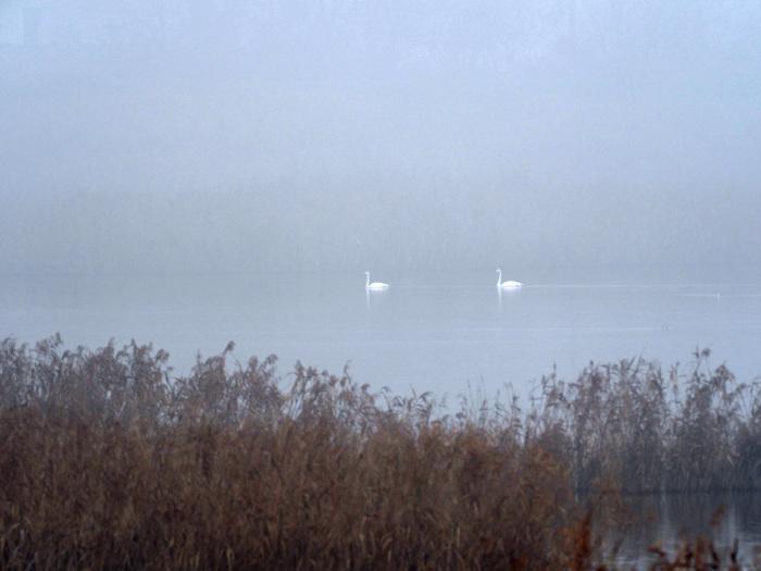 霧の摩周湖のようだ オオハクチョウ Ⅱ_d0290240_12422100.jpg