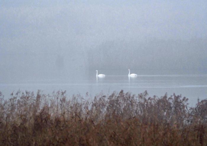 霧の摩周湖のようだ オオハクチョウ Ⅱ_d0290240_12423065.jpg