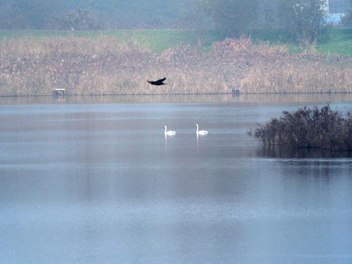 霧の摩周湖のようだ オオハクチョウ Ⅱ_d0290240_12424230.jpg