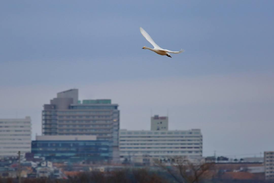 白鳥12/26その1_e0403850_22065157.jpg