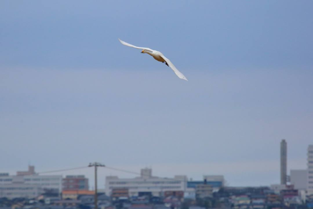 白鳥12/26その1_e0403850_22065933.jpg