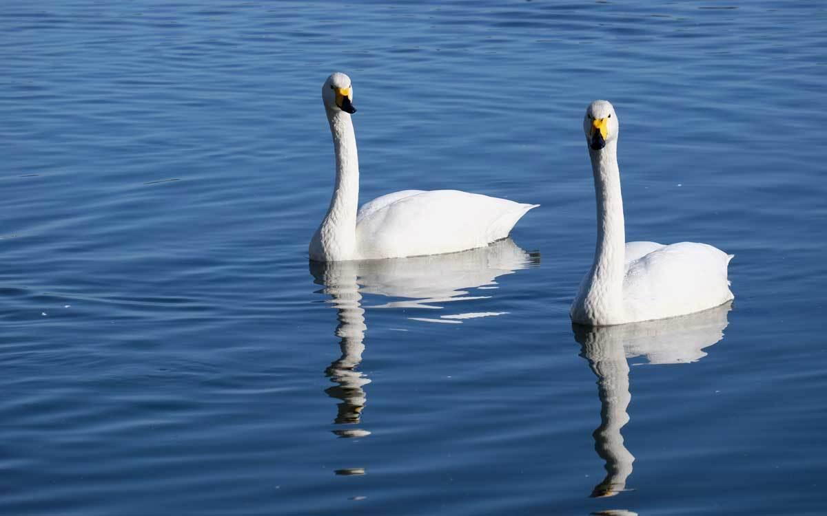 白鳥を撮りに行ってみた_e0220159_17264041.jpg