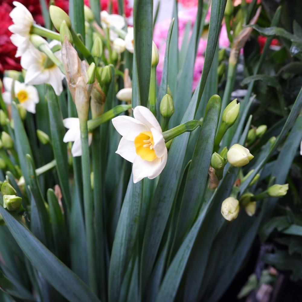 オークリーフ(今年最後のお店の花)_f0049672_07235837.jpg