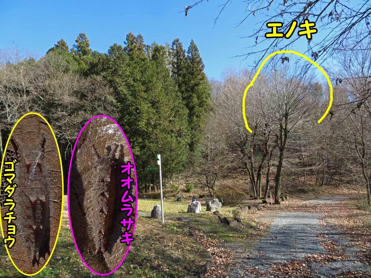 オオムラサキ、ゴマダラチョウの越冬幼虫_e0253104_15542488.jpg
