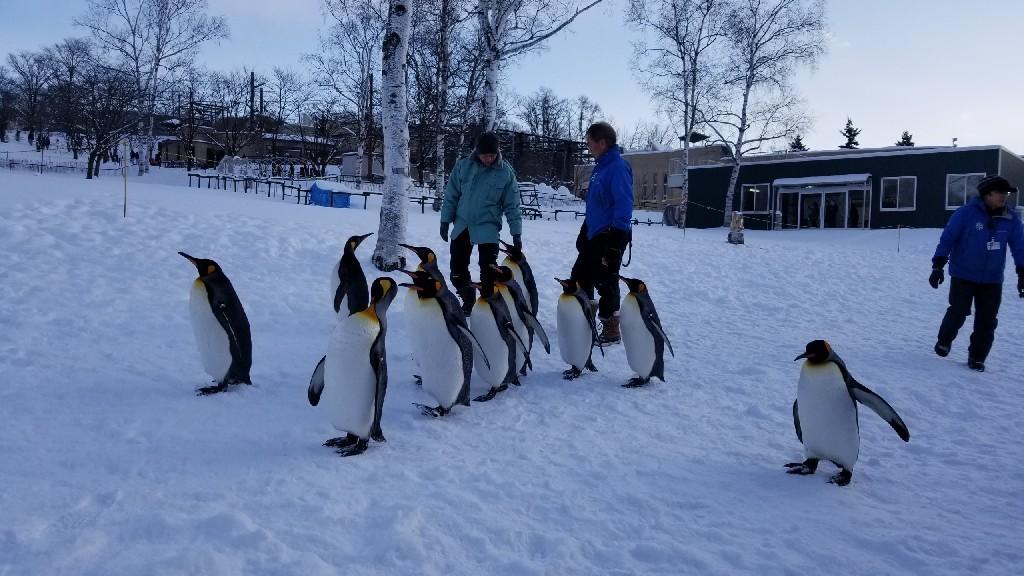 かわいい❗旭山動物園のペンギン_b0019313_16531683.jpg