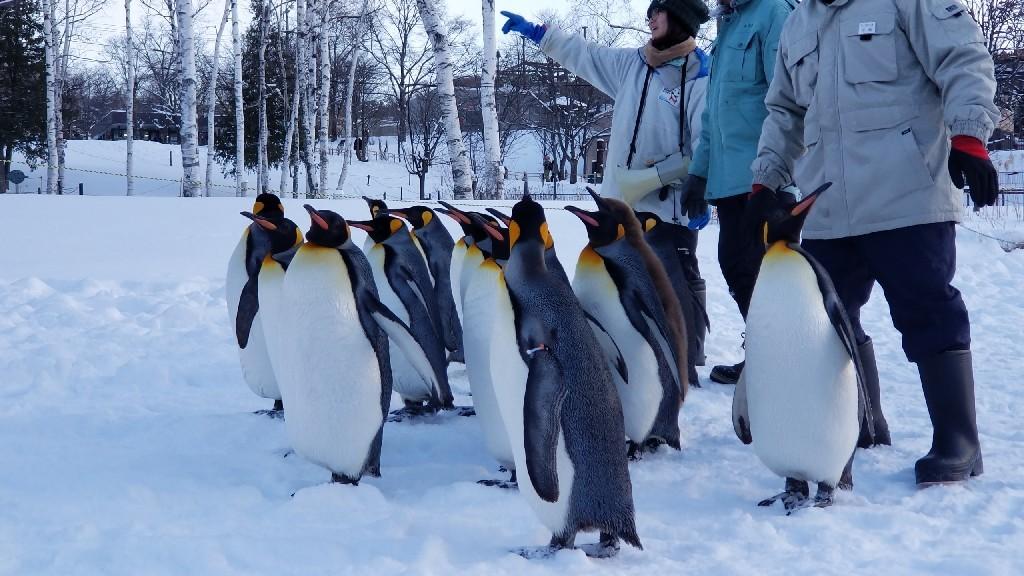 かわいい❗旭山動物園のペンギン_b0019313_16531692.jpg