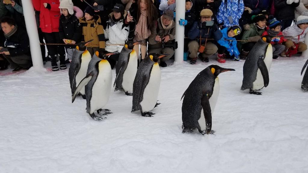 かわいい❗旭山動物園のペンギン_b0019313_16595660.jpg